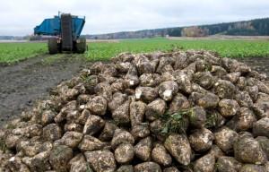 Neuvottelut sokerijuurikkaan viljelykorvauksista ovat jumissa.