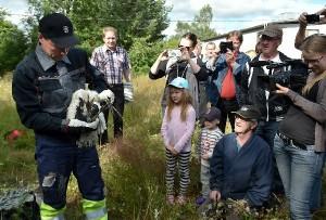 Kattohaikaran poikasten rengastus keräsi runsaasti kameroin varustautunutta yleisöä. Rengastuksen teki Jouni Tittonen.