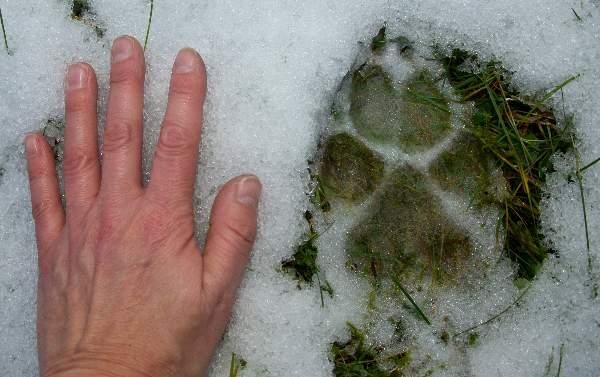 Tämä sudenjälki on valokuvattu vuonna 2012 talvella Vartsalassa. Kuva: SSS-arkisto/Kirsi-Maarit Venetpalo