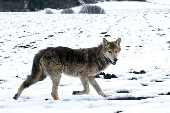 Reijo Juusti kuvasi Paimiossa liikkuneen suden viime talvena.