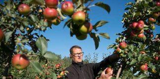 Omenasato on kärsinyt kesäsäästä, joka kuritti hedelmätarhoja etenkin kukintavaiheessa. Harri Axelsson kuvailee Angelniemen omenatarhansa kesäomenasatoa erittäin heikoksi, mutta syys- ja talviomenoiden sato näyttää vähän paremmalta. Nämä Jaspi-syysomenat odottavat vielä poimimista. Kuva: SSS/Kirsi-Maarit Venetpalo