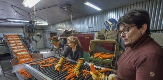 Katariina Isotalo (oik.) ja Raija Veikko erottelevat lajittelupöydällä pois liian pienet ja liian suuret sekä vialliset porkkanat joutumasta pussiin.
