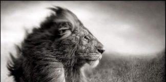 Lion Before Storm II, Sitting Profile/Leijona ennen myrskyä II, Masai Mara, 2006