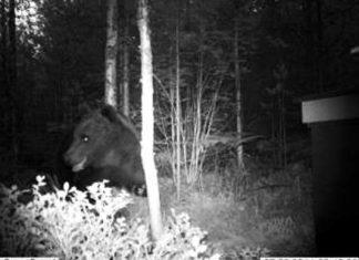 Karhun vierailu tallentui riistakameraan viime kesänä Perniön Naarjärvellä.