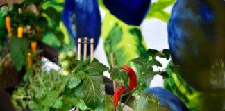 Hyötyviljely omalla terassilla tai parvekkeella nyt trendikästä.