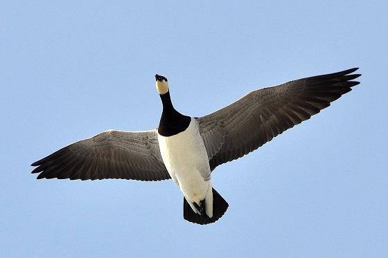 Viikonlopun lintutapahtumassa havaittiin eniten valkoposkihanhia. Kuva: SSS-arkisto/Kirsi-Maarit Venetpalo