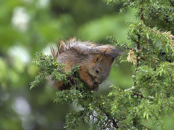 Tälle oravalle maistuu katajanmarja, kertoo Rauno Mäkinen kuvansa saatteessa.