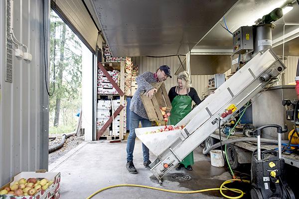 Mehuksi menossa. Bornemannin mehustamossa puristimen kuljetushihnalla on kaneliomenalajikkeita, jotka tavallisesti kypsyvät jo syyskuun alkuun. Viileä kesä on viivästyttänyt omenasadon kypsymistä vähintään kolmella viikolla. Tove ja Gunnar Bornemanninkin kiireet Paraisilla alkoivat tavallista myöhemmin. Viime syksynä mehustamossa puristettiin yli 100 000 litraa omenamehua. – Tänä syksynä sato on ollut pienempi, joten mehustamme ehkä puolet viime syksyn määrästä, Tove Bornemann kertoo. Kuva: Jori Liimatainen, Turun Sanomat.