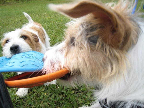 Marjaana Kirjosen kuvassa koirat kisaavat, kenelle seuraavaksi heitetään frisbeetä.