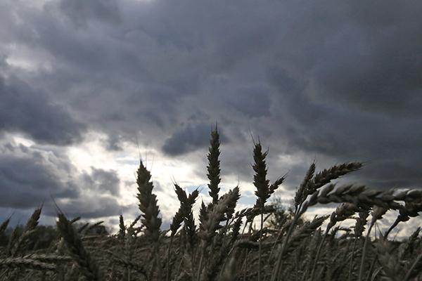 Kylmän kesän sato. Leipävilja on saatu alkuviikolla valtaosin puitua, mutta puimattomiakin lohkoja on Auranmaalla jäljellä. Härkäpapu ja öljykasvit odottavat vielä korjuuta. Kylmä kesä ja sateinen syksy ovat keränneet synkkiä pilviä maatalouden ylle. Kuva: Asko Virtanen, Auranmaan Viikkolehti.