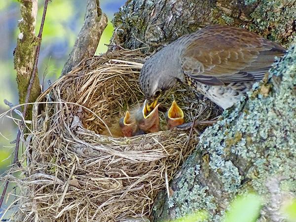 Kolme kiljuvaa suuta ruokittavana. Se tarkoitti uutta elämää ja viserrystä pihapuussa, kertoo Juhani Peltonen toukokuussa otetusta kuvasta.