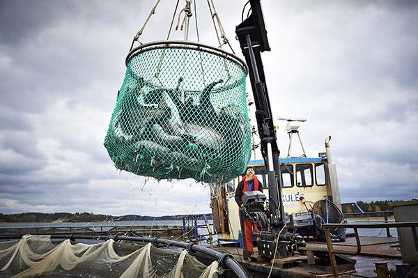 Joulupöytien mätikalat. Mossalassa on alettu nostaa tämän kauden kirjolohia ja -siikoja. Kaikki mäti menee poikkeuksellisesti kotimaan ja lähimaiden joulumarkkinoille, vielä viime vuonna Japaniin. Juha Viljainen nostaa muutaman haavillisen kirjolohia altaasta suoraan aluksen säiliöön ja ajaa laitoksen rantaan. Siellä tuotantoketju on jo valmiina perkaamaan kalat ja irrottamaan käsityönä mädin joulumarkkinoita odottamaan. Kuva: Ari-Matti Ruuska, Turun Sanomat.